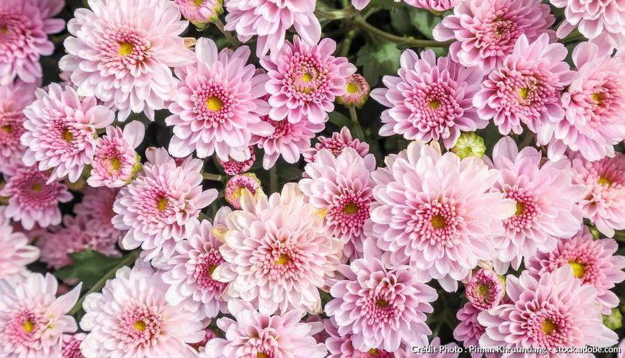 Chrysanthemum Mei-Kyo