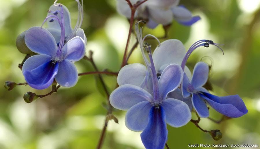 Clerodendron bleu