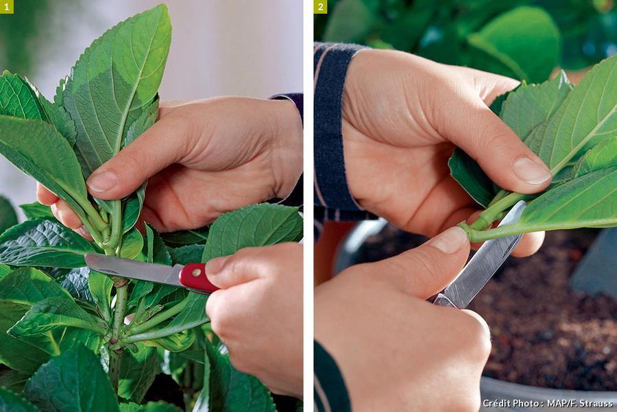 Couper les branches pour les boutures