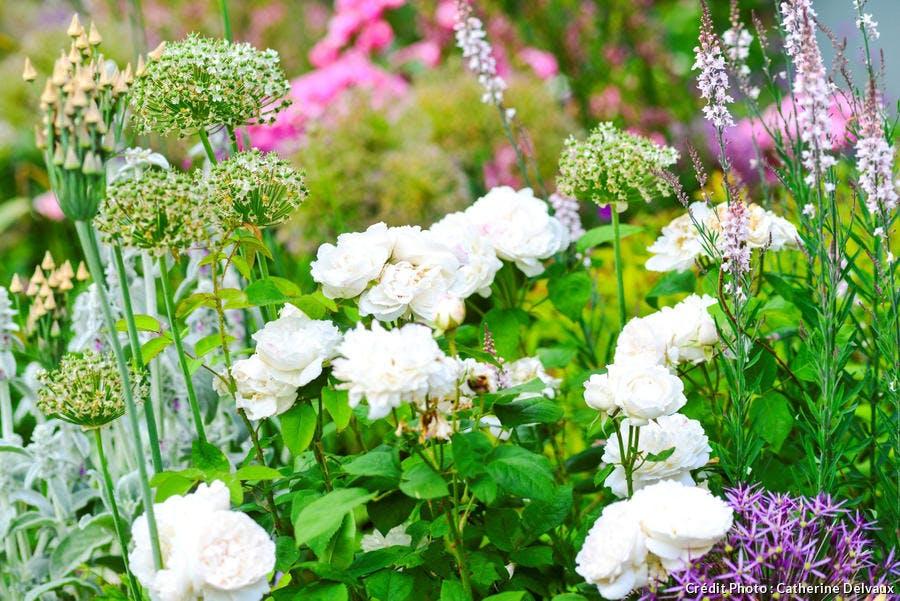 Rose dans un jardin campagnard