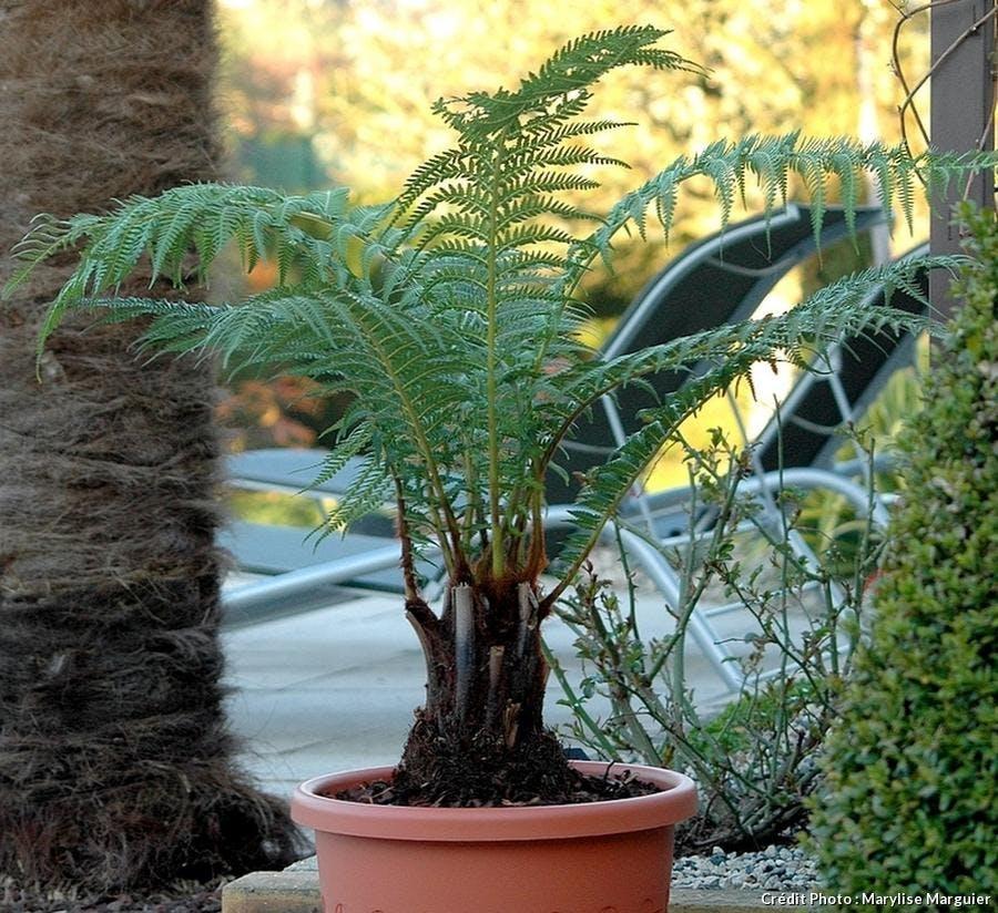 Dicksonia antartica cultivée en pot