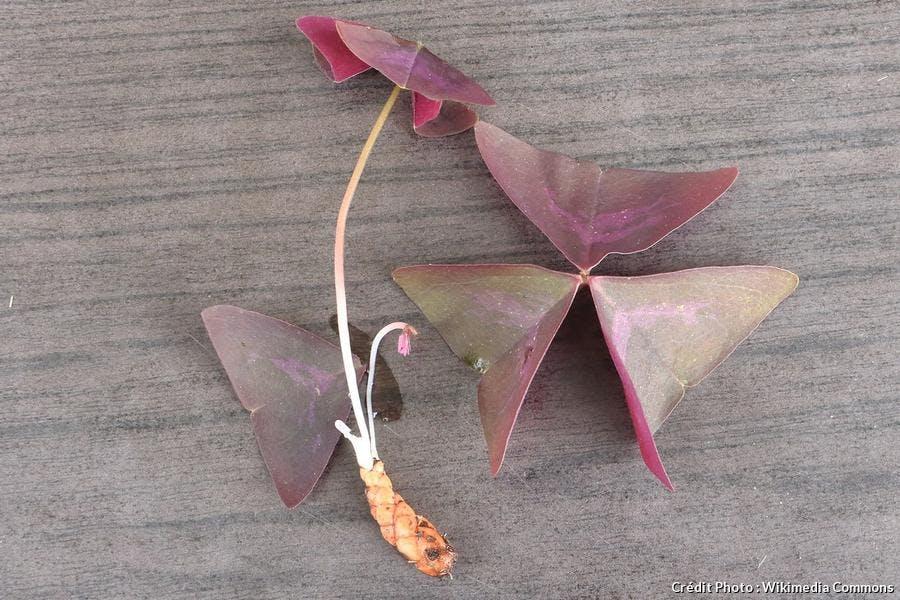 Bulbe d'Oxalis triangularis pourpre