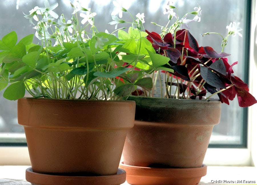 Floraison Oxalis triangularis pourpre et vert