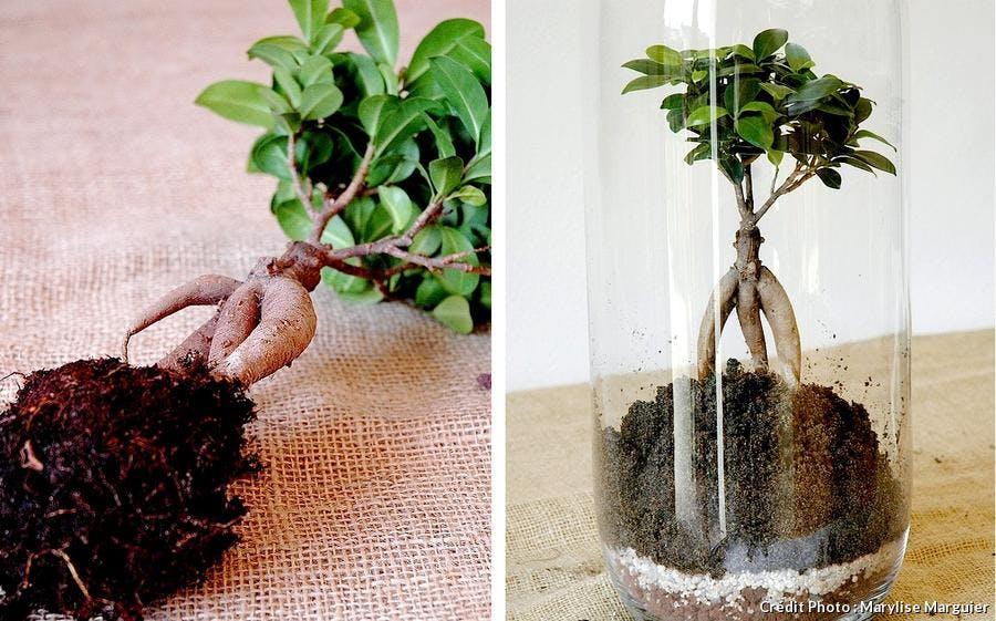 Plantation du ficus dans le terrarium