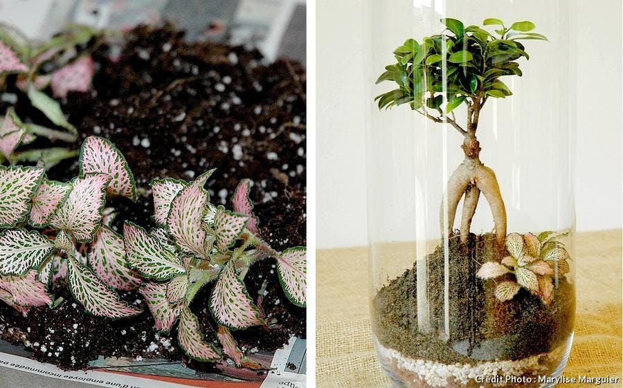 Plantation du fittonia dans le terrarium