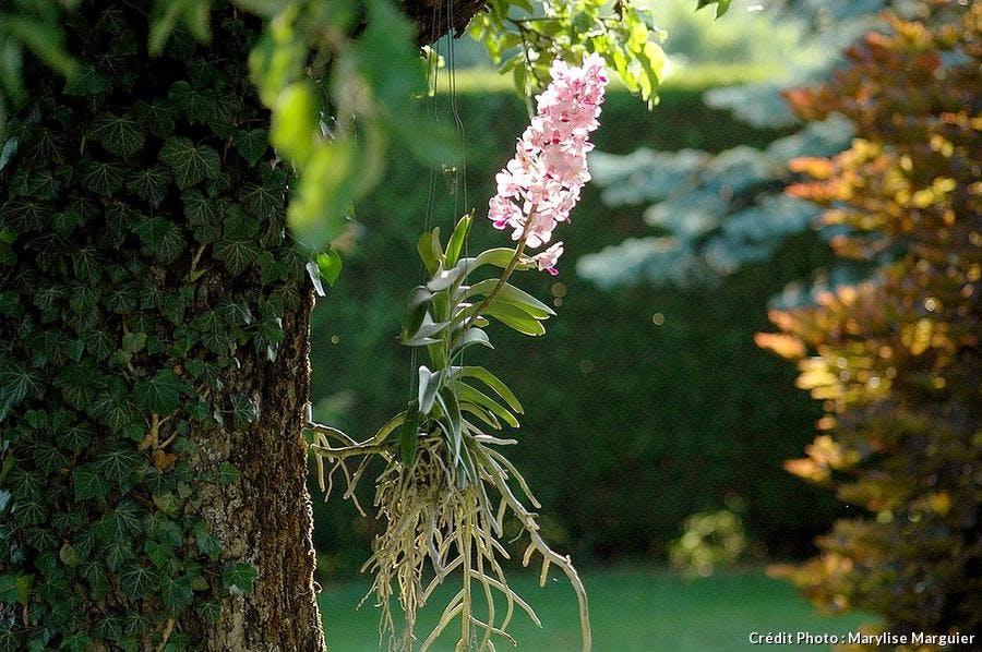 Orchidée Vanda blanche