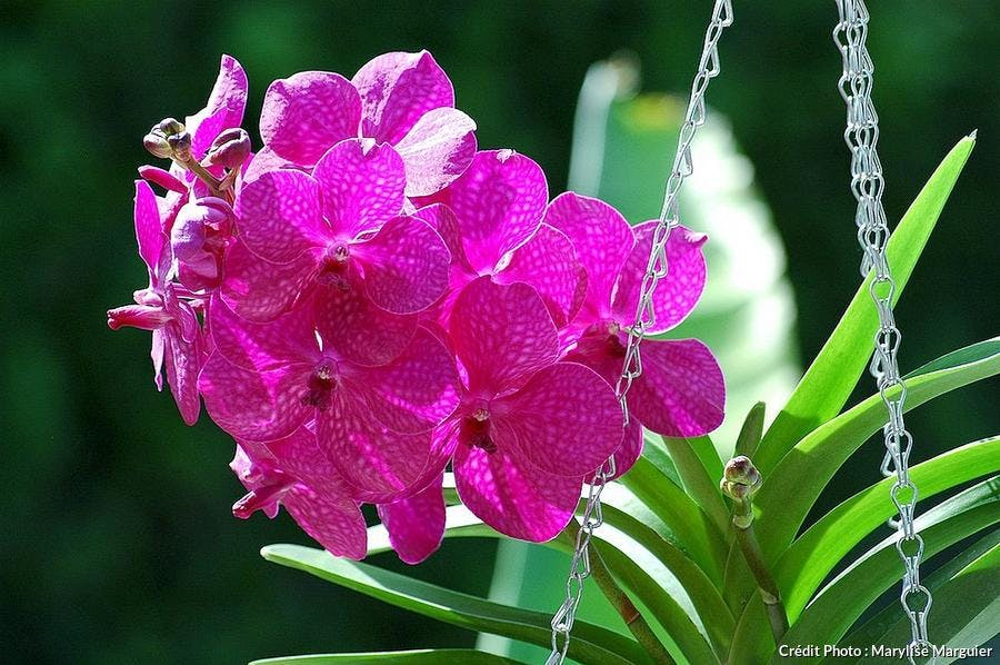 Orchidée Vanda rose