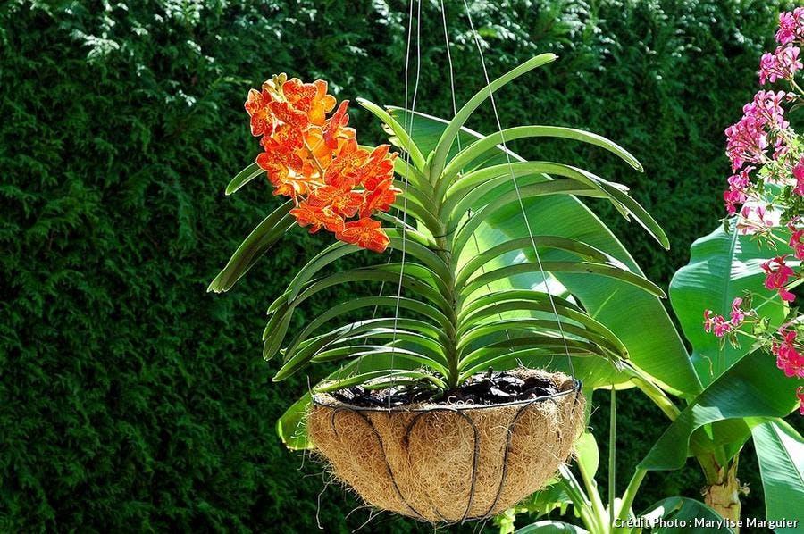 Orchidée Vanda en panier de coco