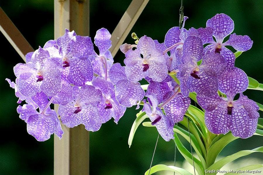 Vanda violette