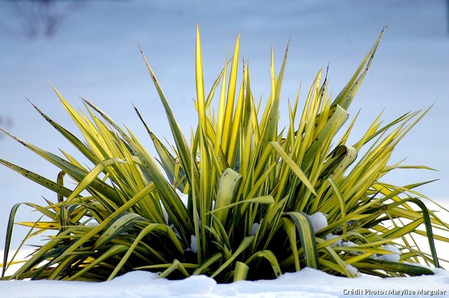 Yucca filamentosa panaché neige