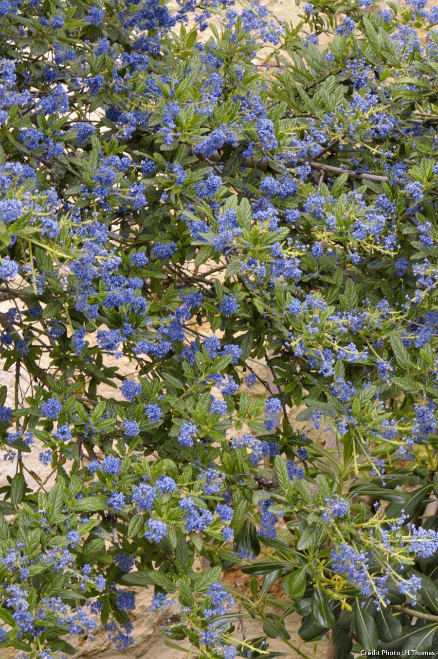 Céanothe en fleurs