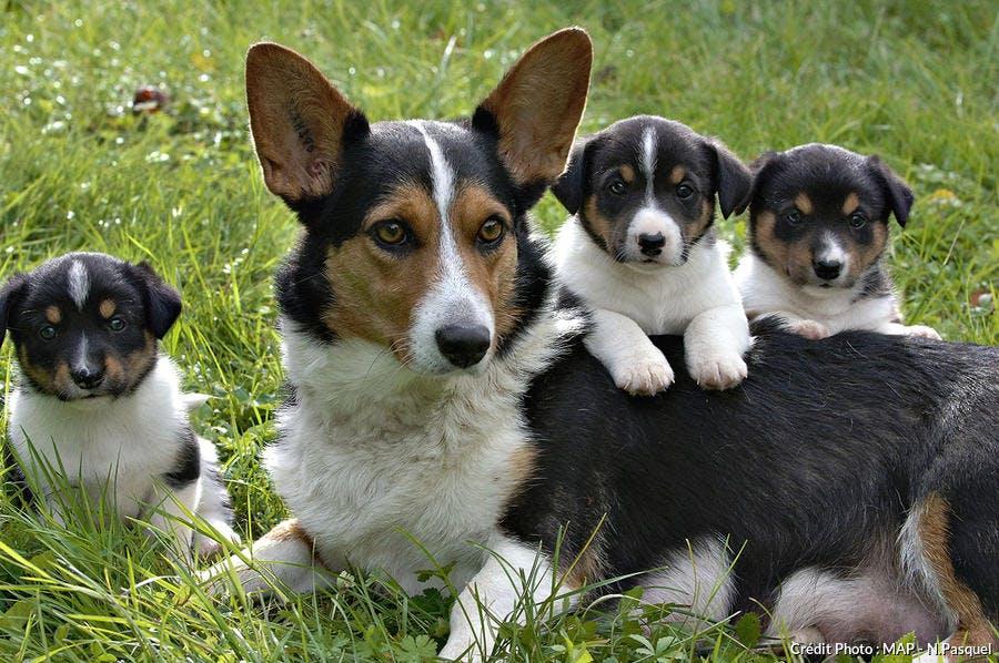 Chienne Corgi et ses petits
