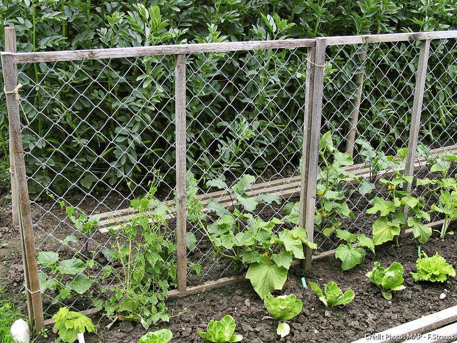 Concombre au potager en pleine terre