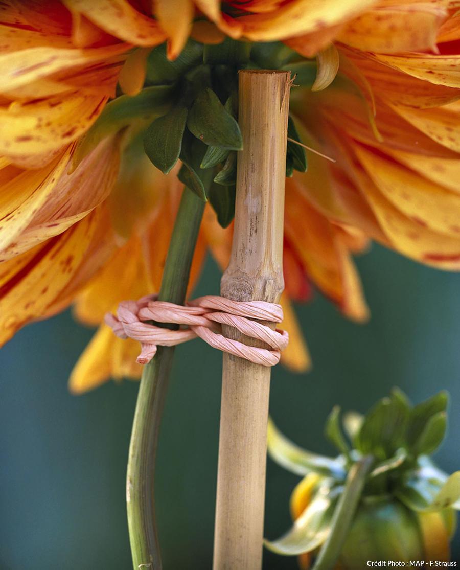 Dahlias : planter, tuteurer, bouturer, soigner.