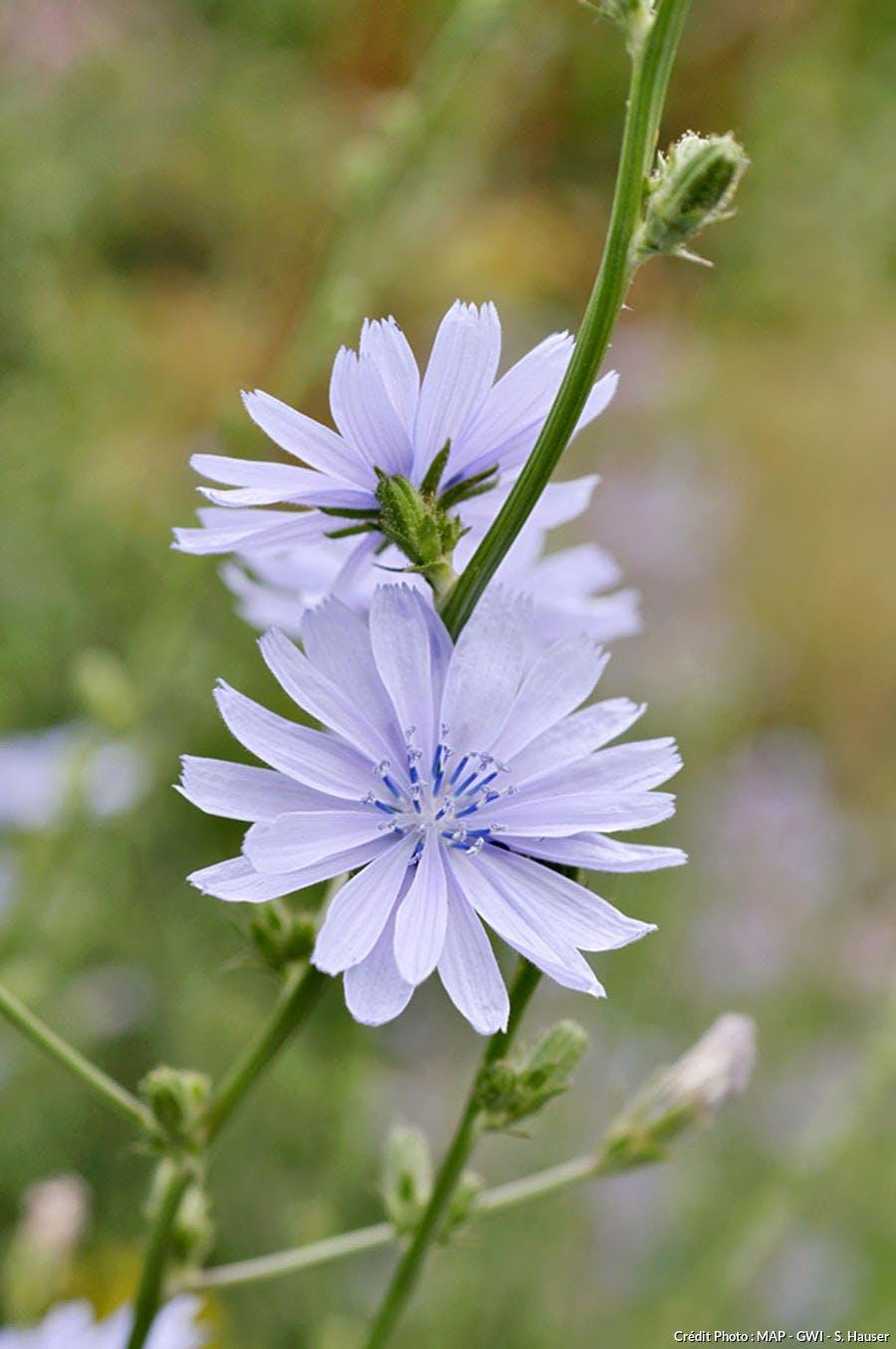 Fleur d'endive