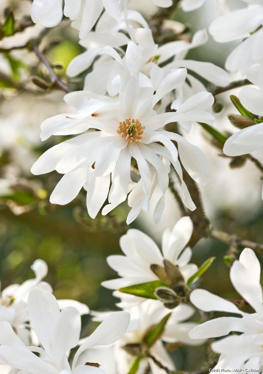 magnolias à fleurs blanches