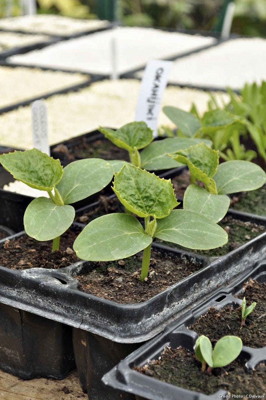 Repiquage des semis