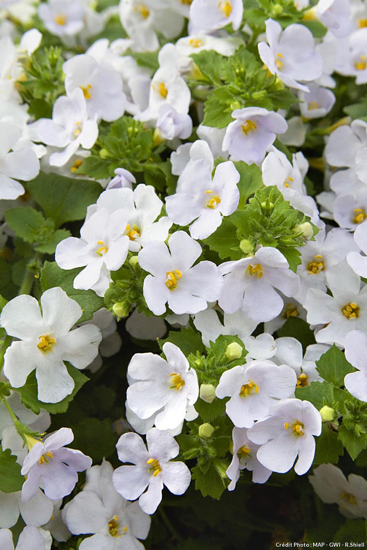 Fleurs de bacopa