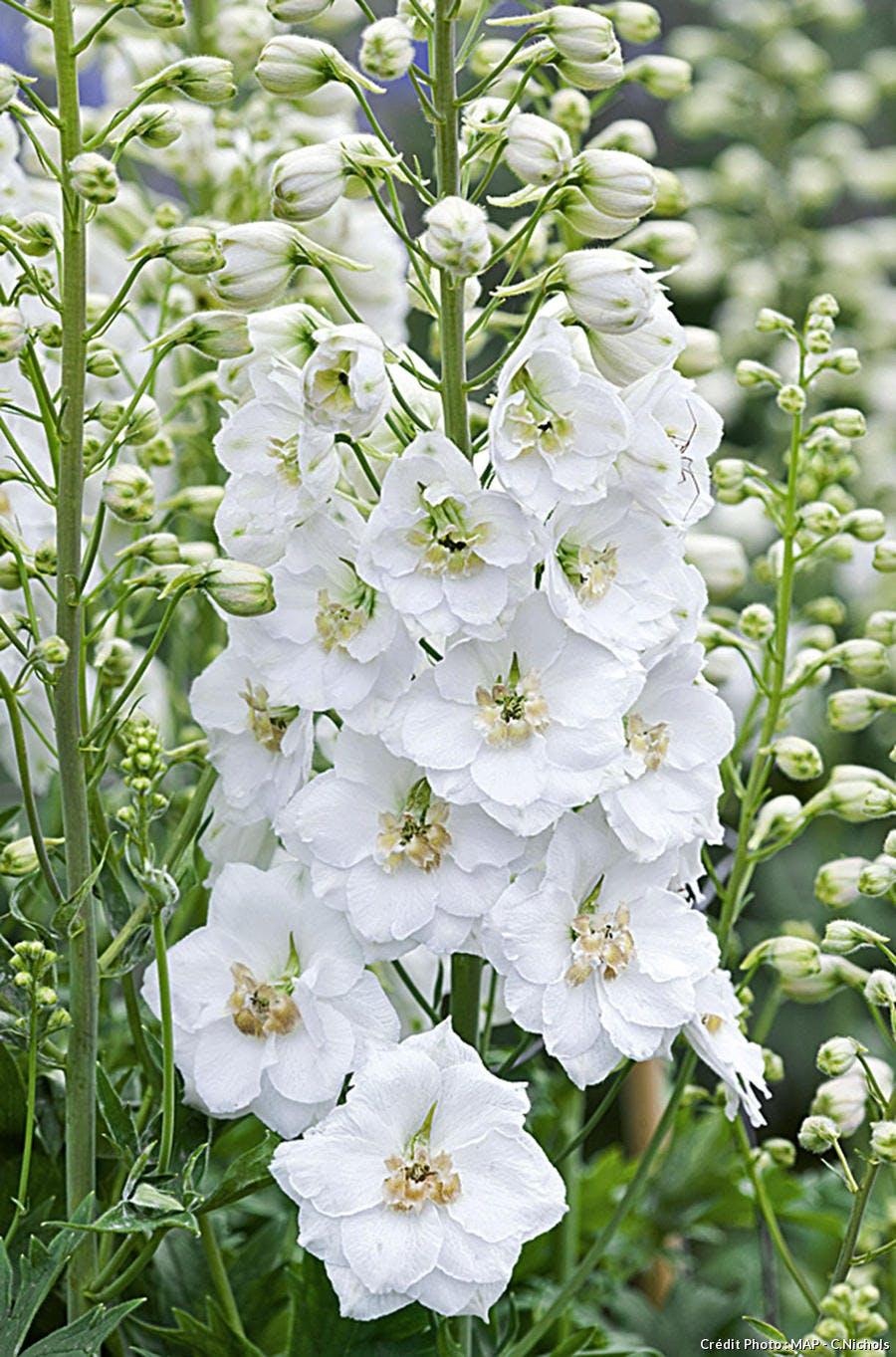 Delphinium pour bouquet