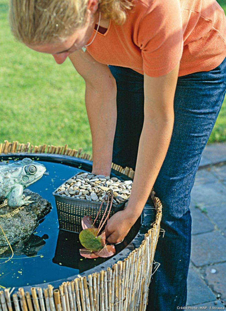 Planter le nénuphar dans le bassin