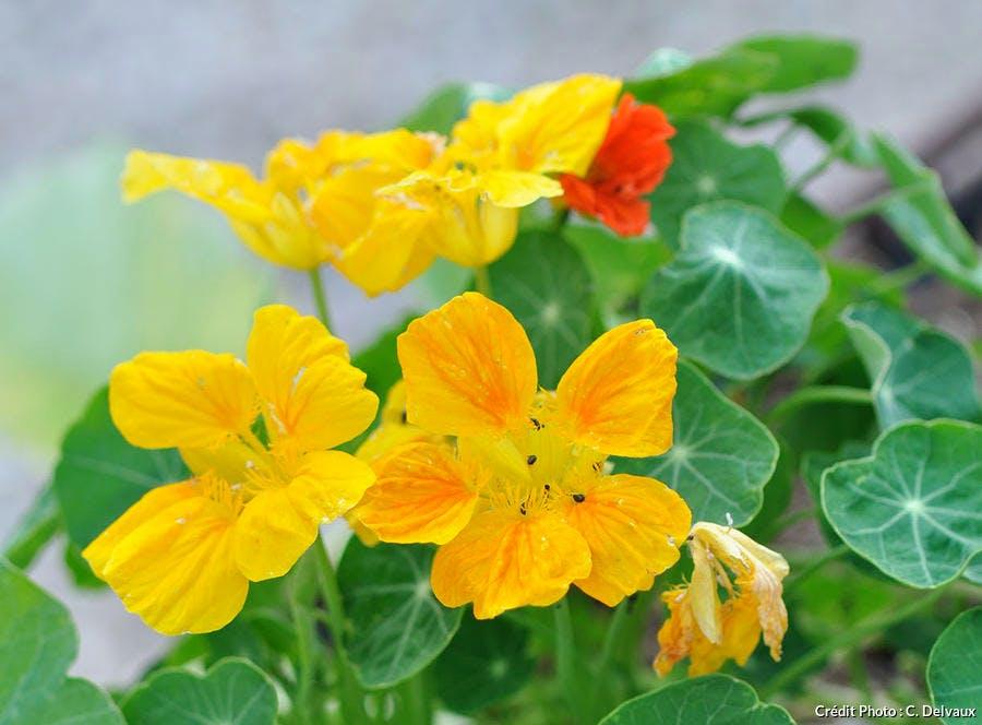 plante pucerons