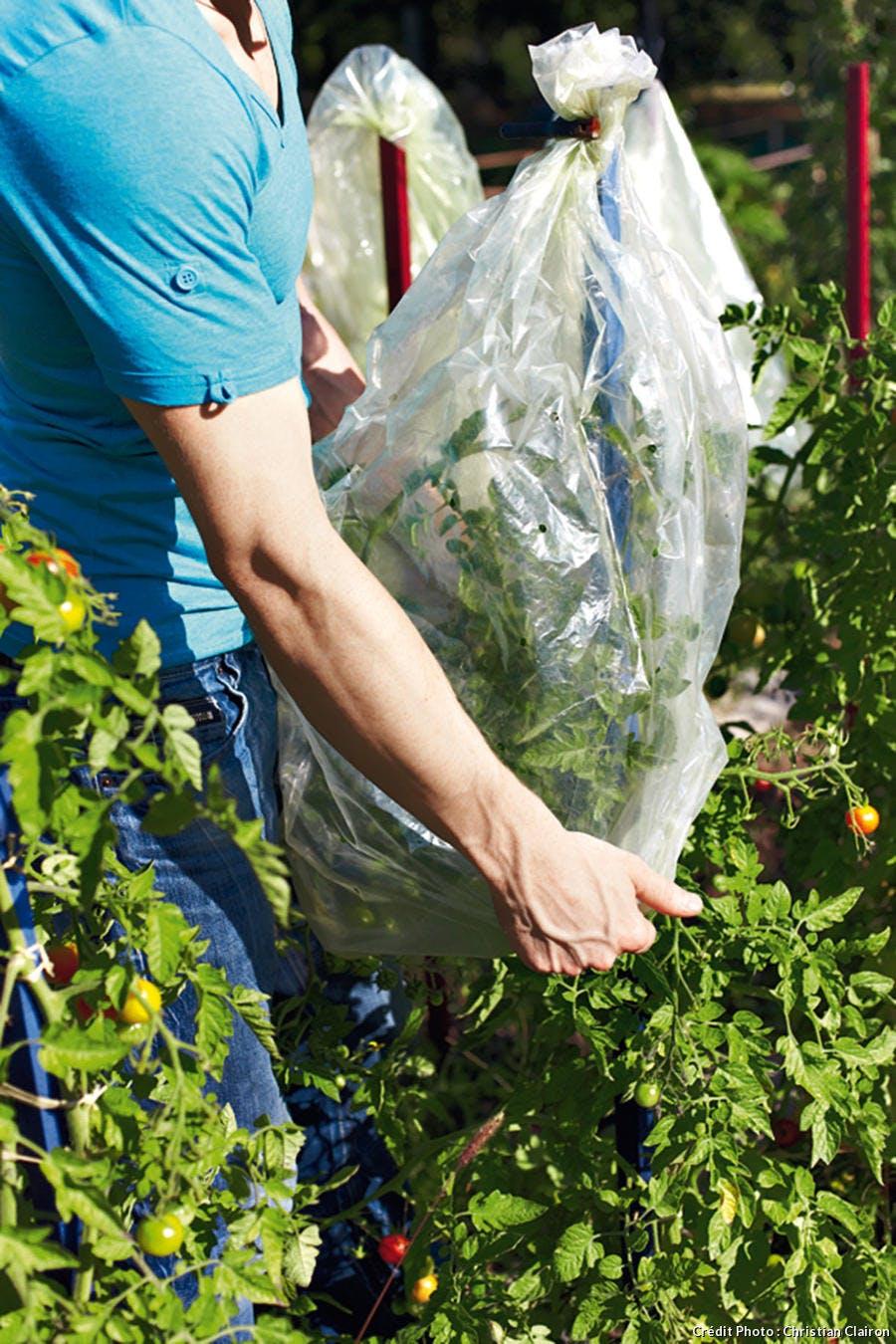 Protection d'un plant de tomate