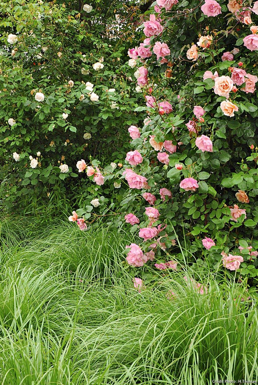 Rose Alfred Carrière