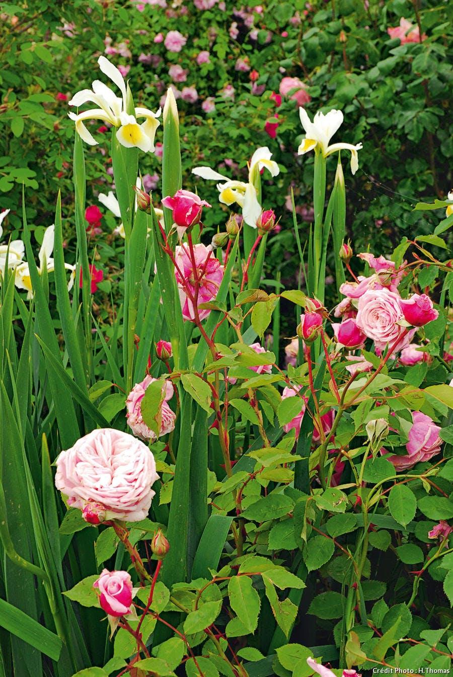 Rosiers et fleurs en massif