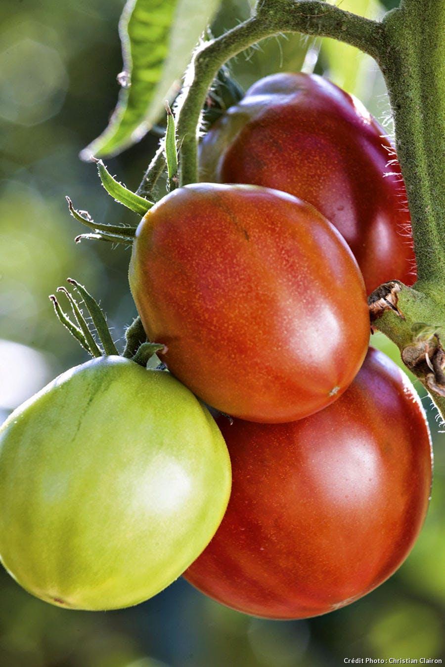 Tomate Black Pear