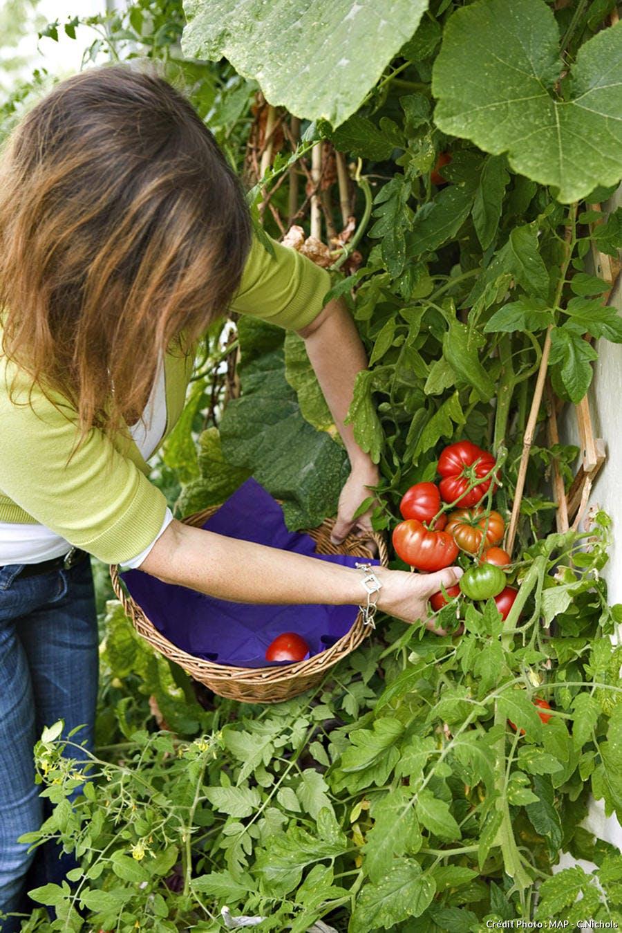 Cueillette de tomates du jardin
