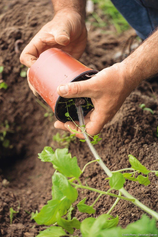 Plant de tomate en pot