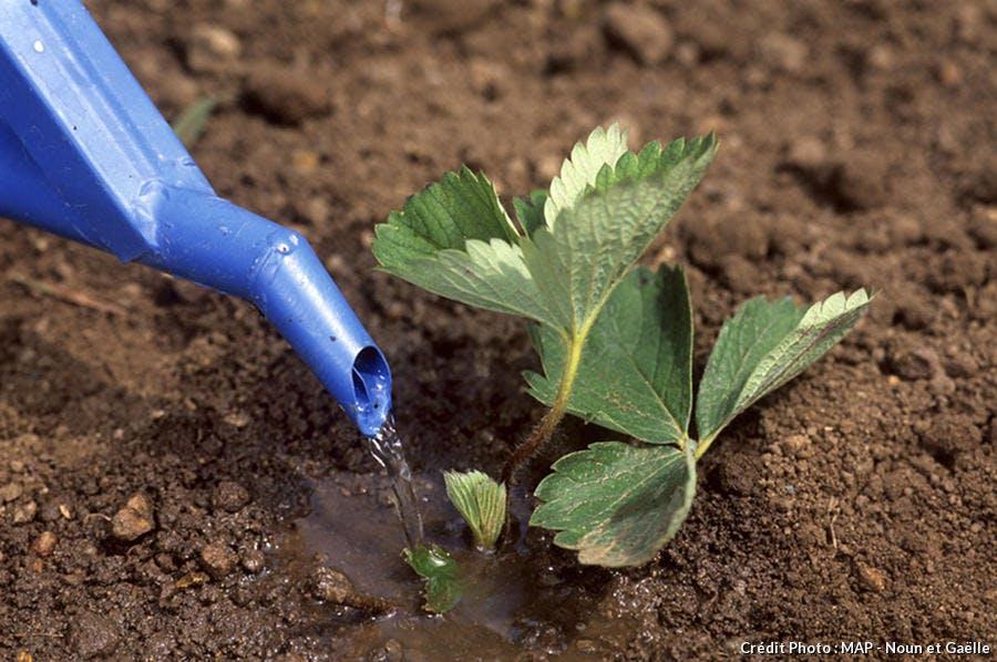 Arrosage de plant