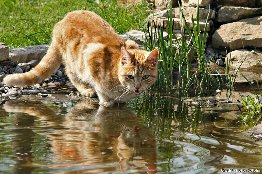 Chat dans l'eau