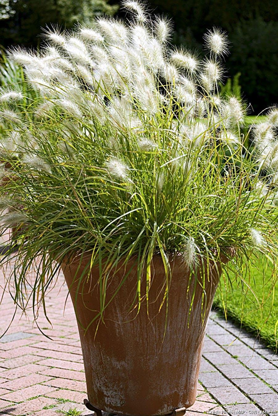 Graminée Pennisetum villosum