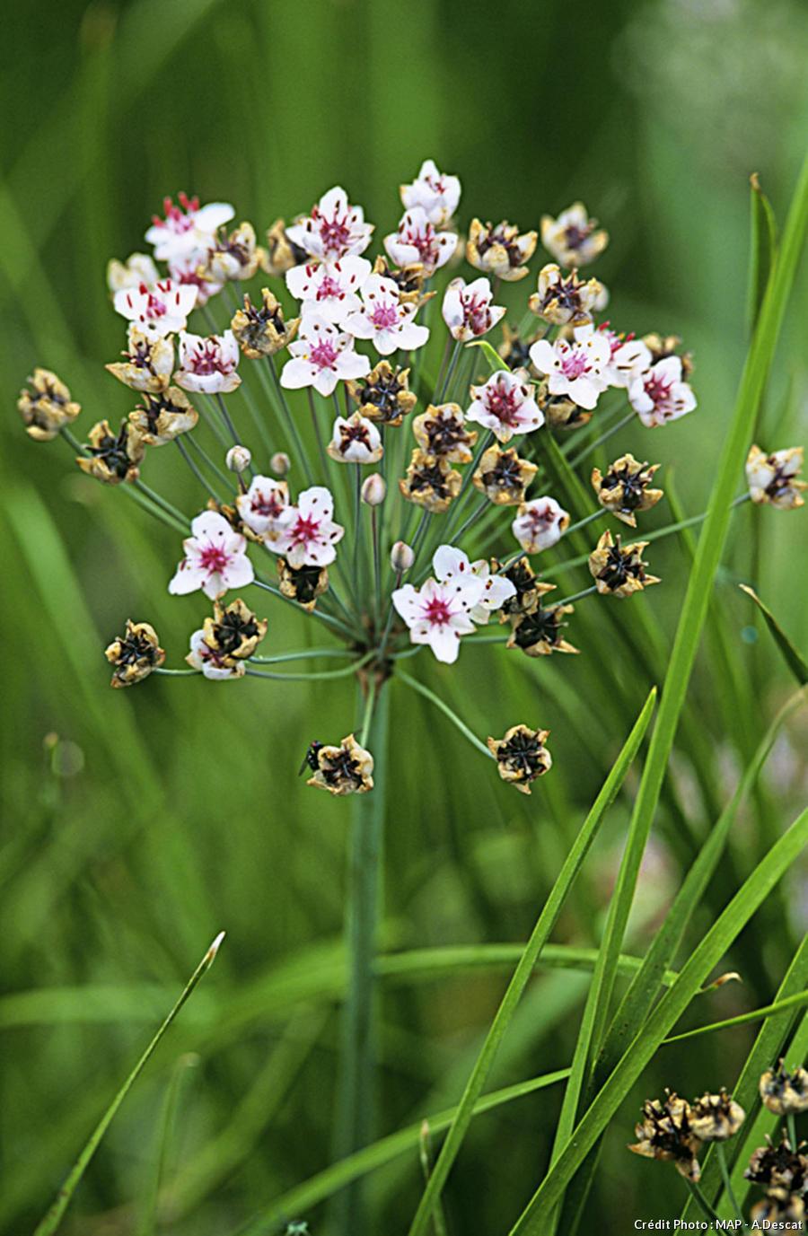 Jonc fleuri Butomus umbellatus