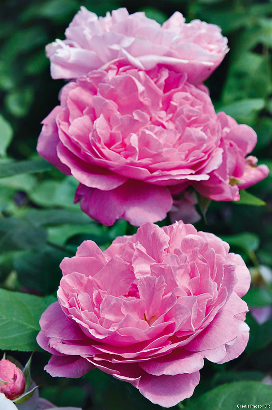 Le rosier 'The May Flower'