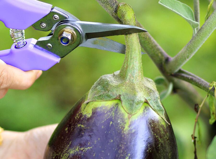 Cueillette d'aubergine