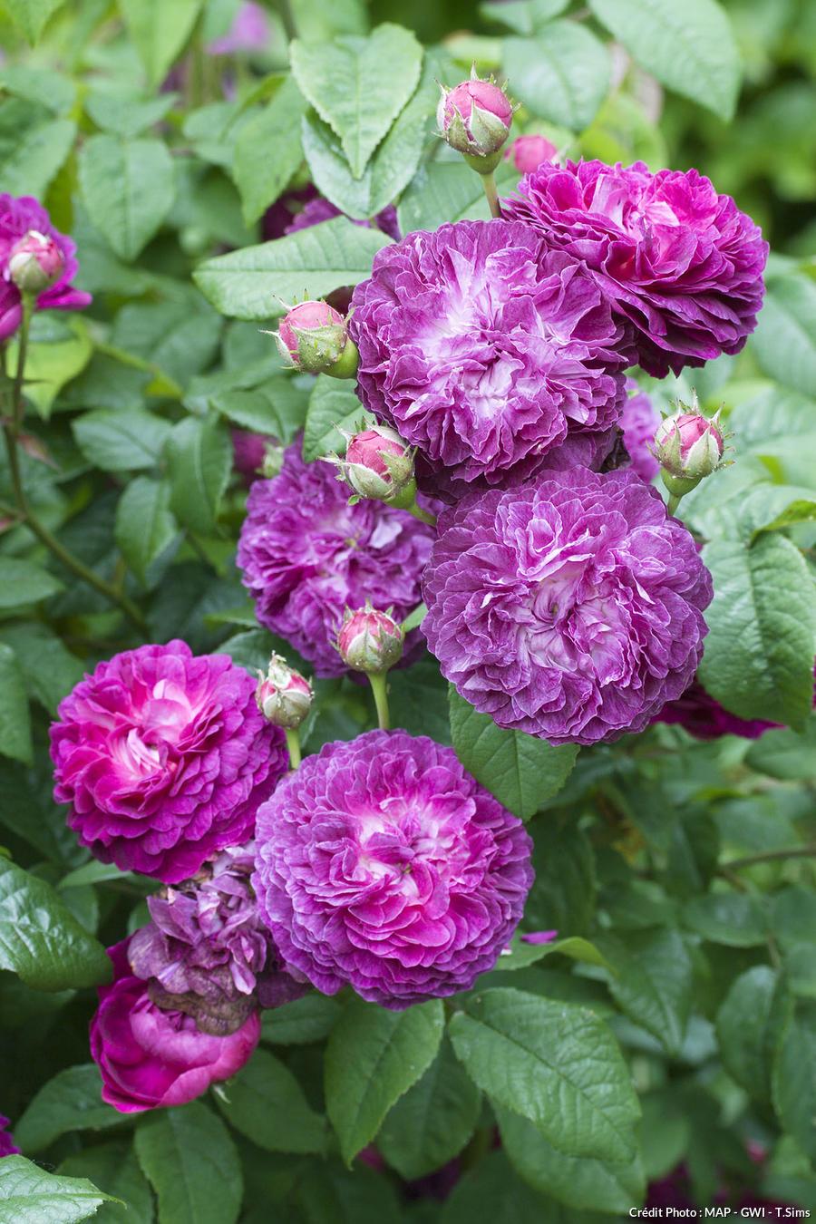 Rose 'Cardinal de Richelieu'