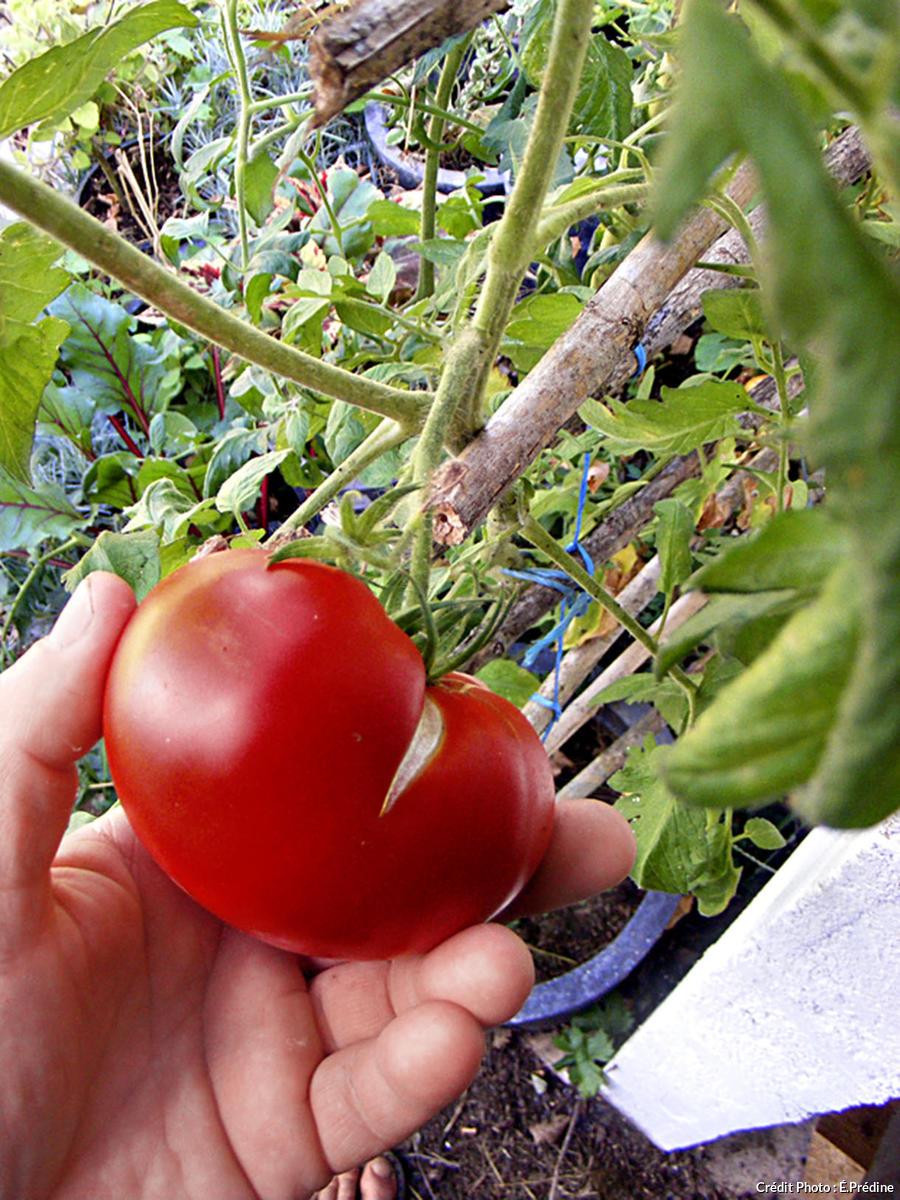Une tomate bien mûre.