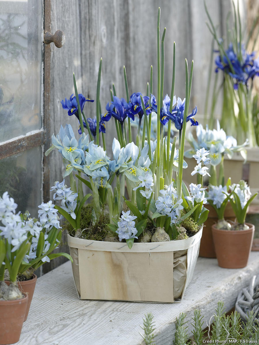 Potée de deux variétés d'iris bleus