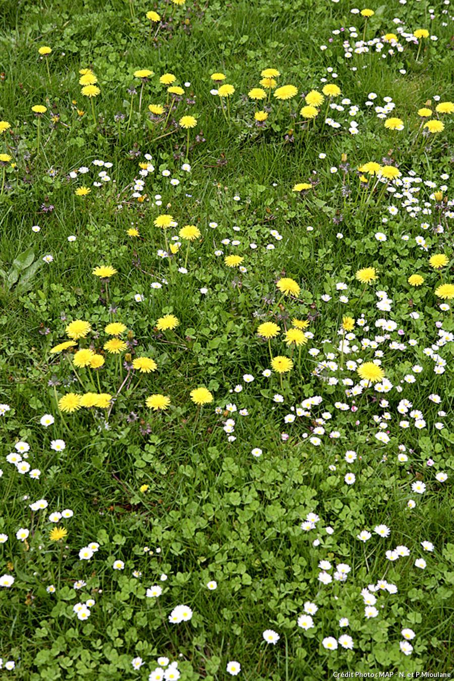 Pelouse recouverte de mauvaises herbes