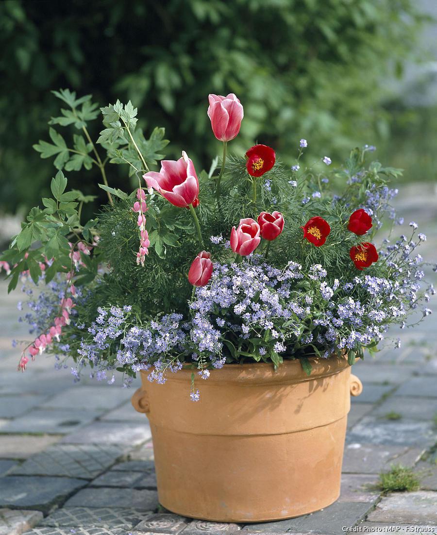 Potée de myosotis et de tulipes