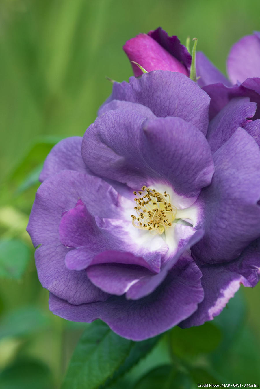 Rose 'Rhapsodie in Blue'