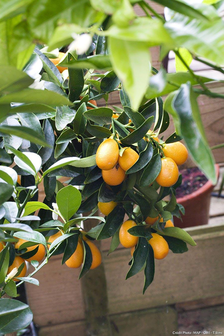 Agrume Kumquat