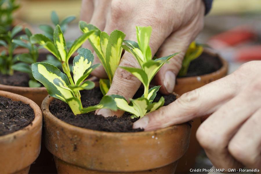 Boutures herbacées de fusain
