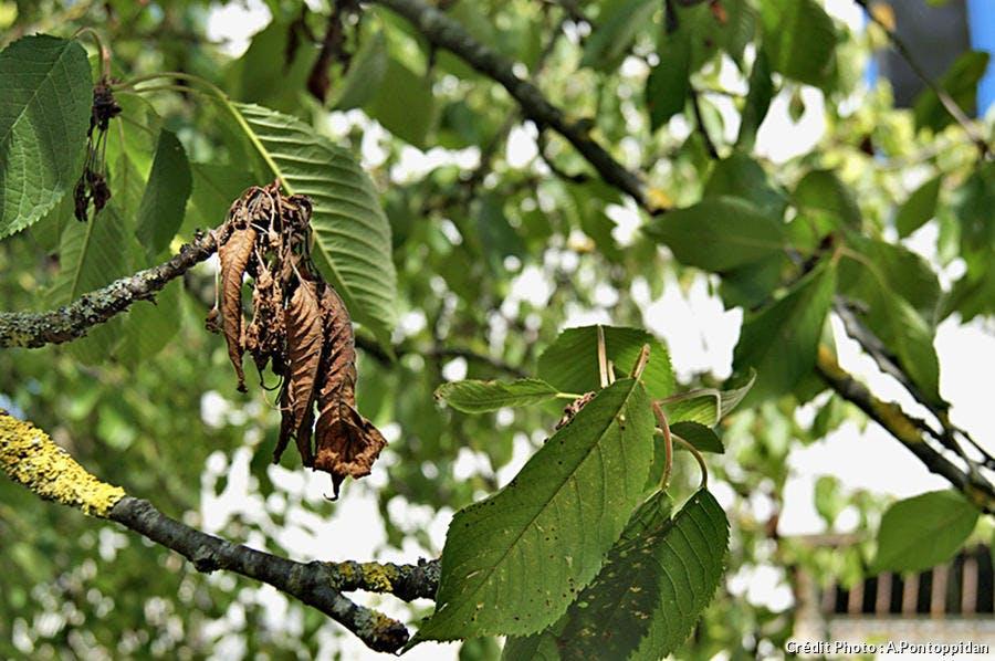 Feuilles de cerisier atteint de la moniliose
