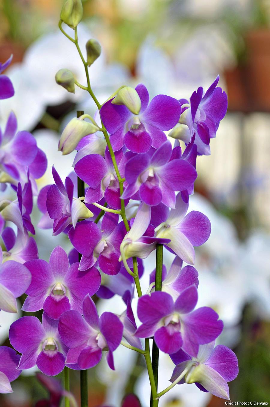 Orchidée, Dendrobium phalaenopsis 'Anna'
