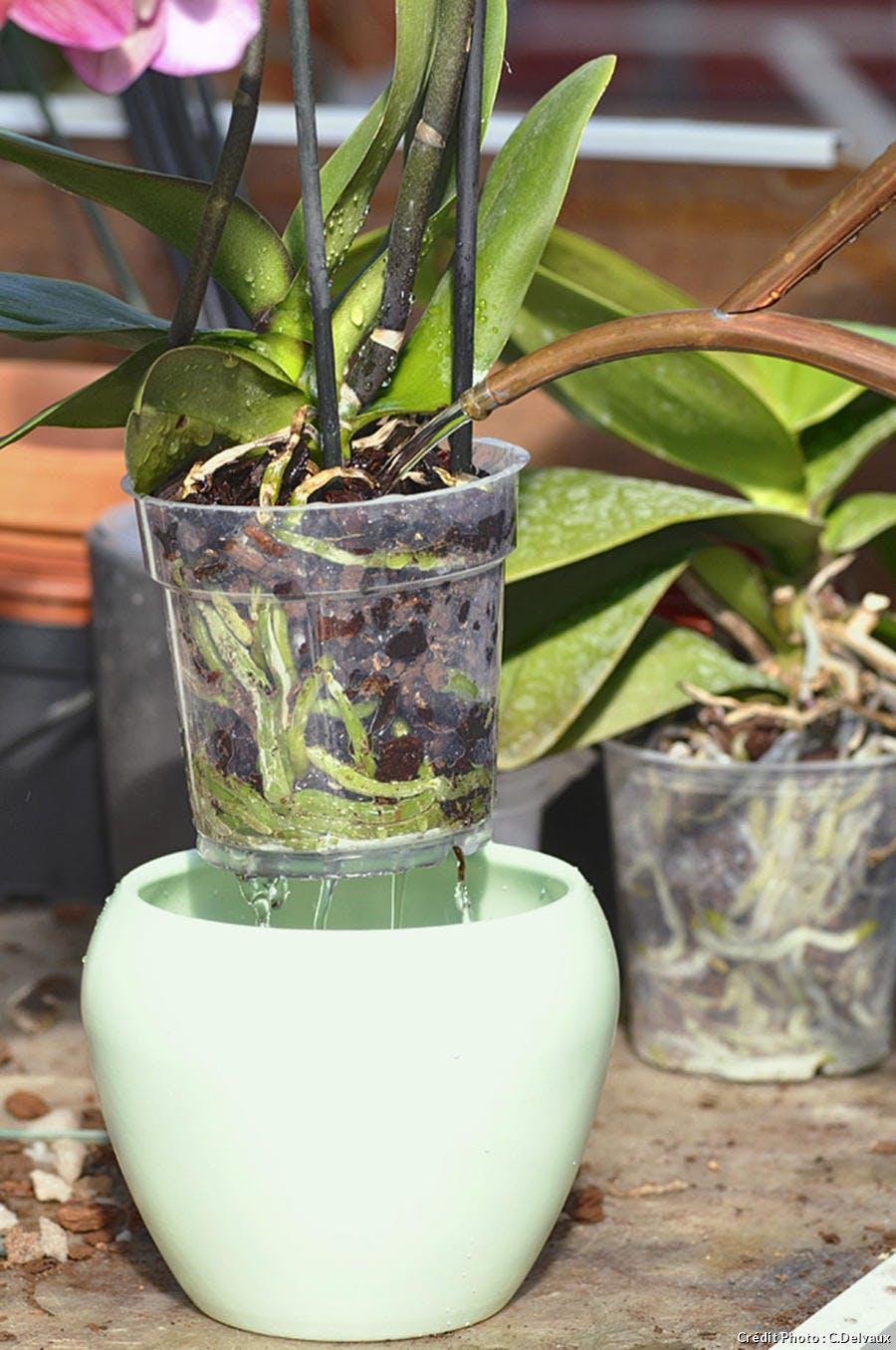 Arroser une orchidée