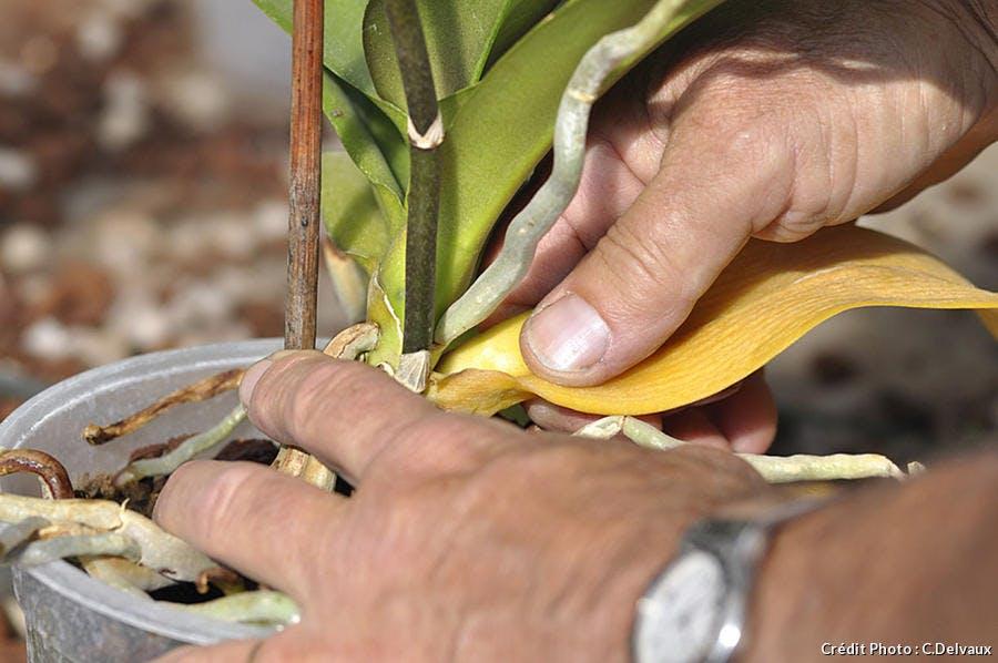 Enlever les feuilles jaunes d'une orchidée