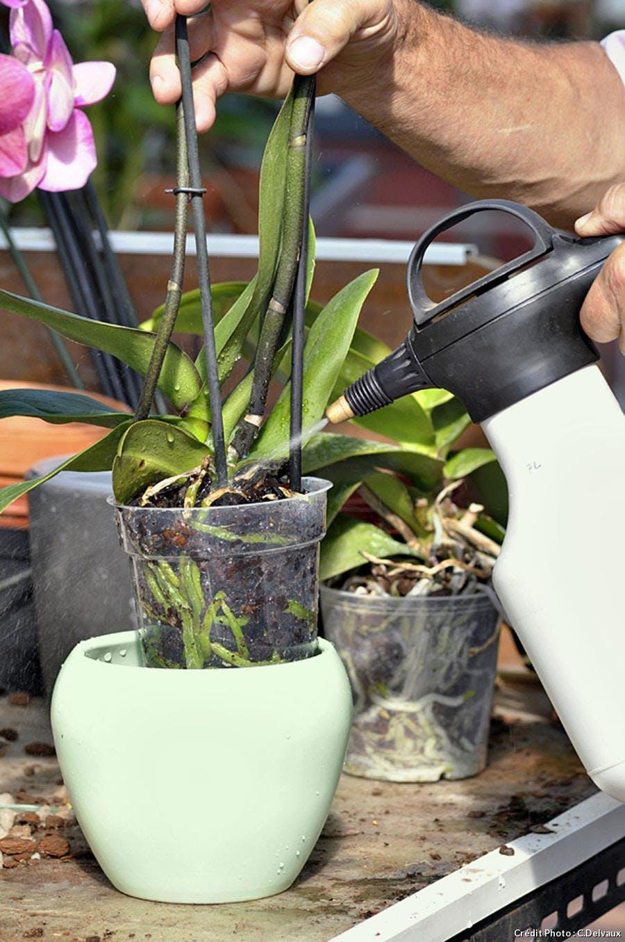 Nourrir une orchidée